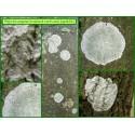 Phlyctis argena - 1633