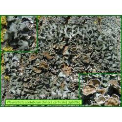 Pleurosticta acetabulum - 1656