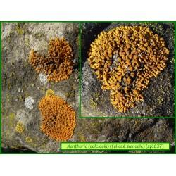 Xanthoria calcicola - 1637