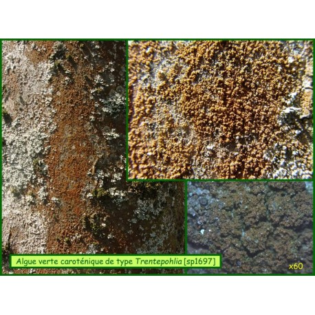 Algues lichenophiles - 1697-1698-1707