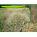 Armoise champêtre - Artemisia campestris - 3017