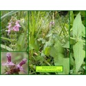 Épiaire des marais - Stachys palustris - 748