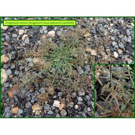 Éragrostis faux-paturin - Eragrostis minor - 3020