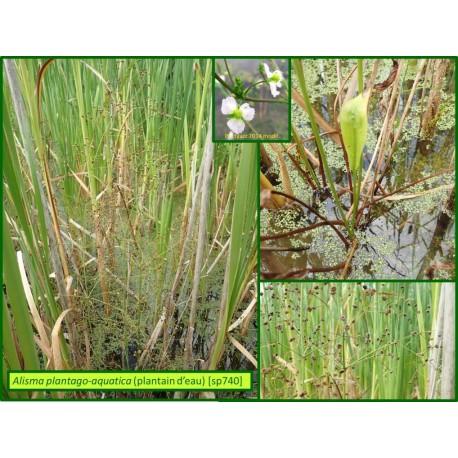 Plantain d'eau - Alisma plantago-aquatica - 740