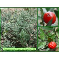 Fragon petit houx - Ruscus aculeatus - 440