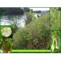 Aristoloche clématite - Aristolochia clematitis - 645