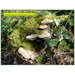Dédalée du chêne - Daedalea quercina - 5001