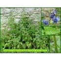 Buglosse toujours verte - Pentaglottis sempervirens - 679