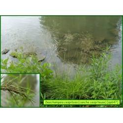 Canche cespiteuse - Deschampsia cespitosa - 647