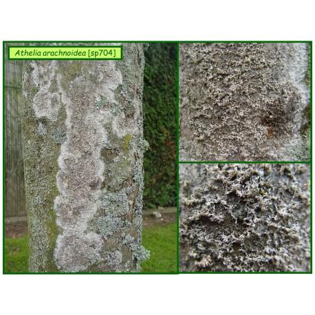 Champignon parasite - Athelia arachnoidea - 704