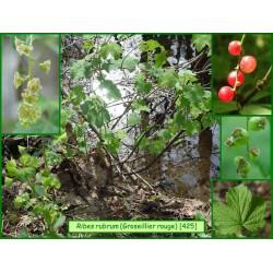Groseillier rouge - Ribes rubra - 425