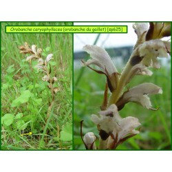 Orobanche du Gaillet - Orobanche caryophyllacea - 625