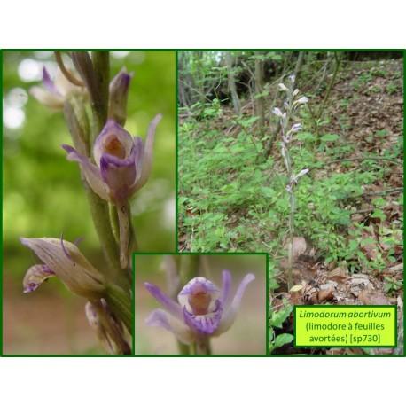 Limodore à feuilles avortées - Limodorum abortivum - 730