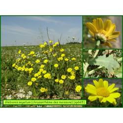 Chrysanthème des moissons - Glebionis segetum - 665