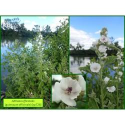 Guimauve officinale - Althaea officinalis - 728