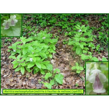 Mélitte à feuilles de mélisse  -Melittis melissophyllum - 655