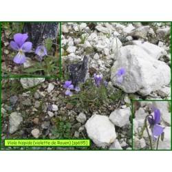 Pensée de Rouen - Viola hispida - 695