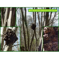 Loupe du merisier ou broussin - 770