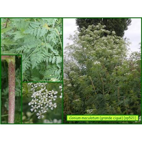 Grande ciguë - Conium maculatum - 521