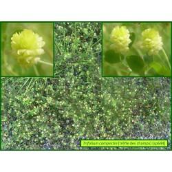 Trèfle des champs - Trifolium campestre - 644