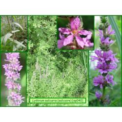 Salicaire commune - Lythrum salicaria - 040