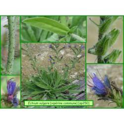 Vipérine vulgaire - Echium vulgare - 250