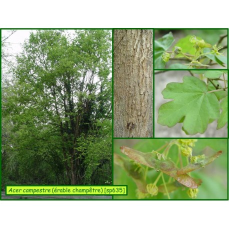Érable champêtre - Acer campestre - 635