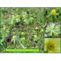 Éranthe d'hiver - Eranthis hyemalis - 765
