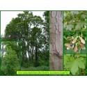Érable sycomore - Acer pseudoplatanoides - 676