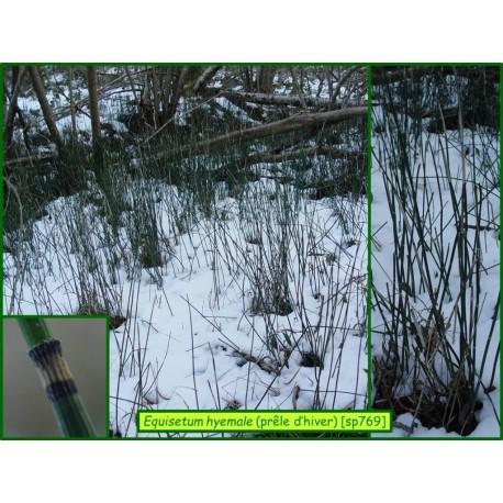Prêle d'hiver - Equisetum hyemale - 769