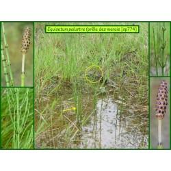 Prêle des marais - Equisetum palustre - 774