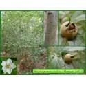 Néflier d'Allemagne - Mespilus germanica - 583