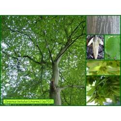 Charme - Carpinus betulus - 702