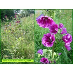 Rose trémière - Alcea rosea - 667