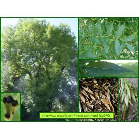 Frêne commun - Fraxinus excelsior - 646