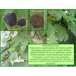 Champignon, Tache noire de l'érable - Rhytisma acerinum - 513