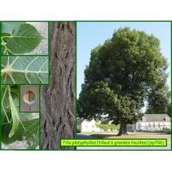 Tilleul à grandes feuilles - Tilia platyphyllos - 706