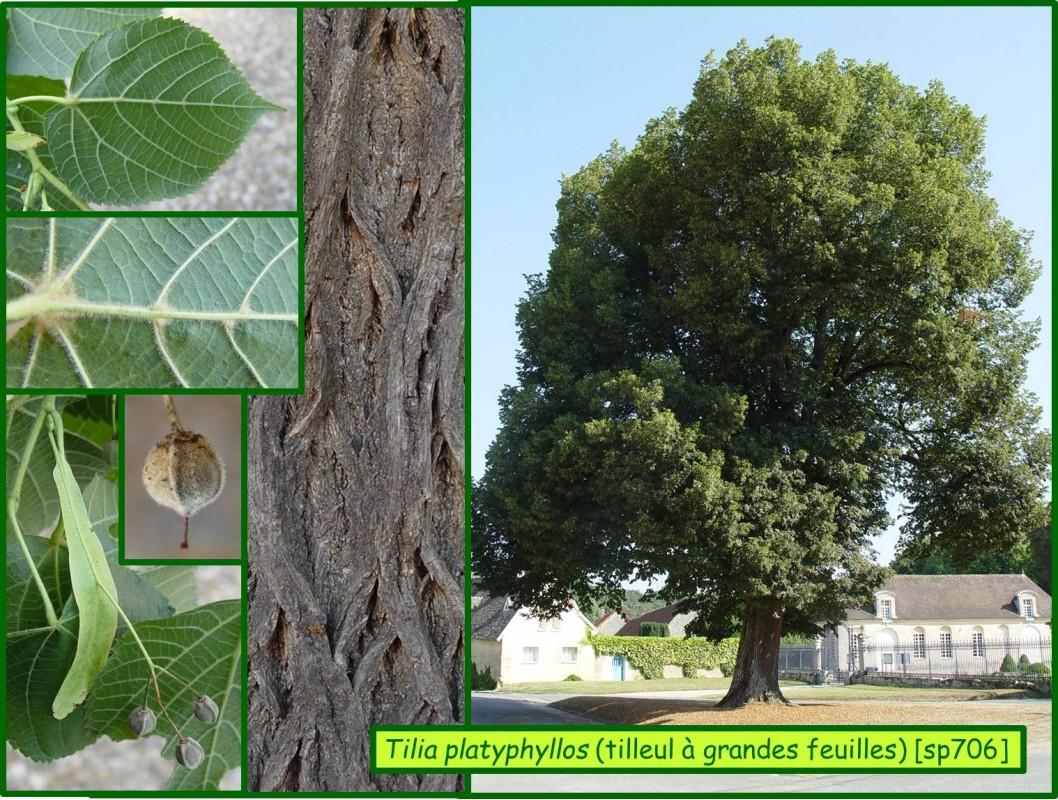 Tilleul grandes feuilles tilia platyphyllos 706 - Tilleul a grandes feuilles ...