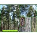 Pin de Weymouth - Pinus strobus - 771