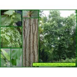 Tilleul à petites feuilles - Tilia cordata - 619