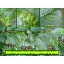 Galle de l'aulne - Aceria brevitarsa - 629