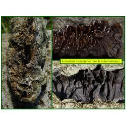 Oreille mésentérique - Auricularia mesenterica - 5005