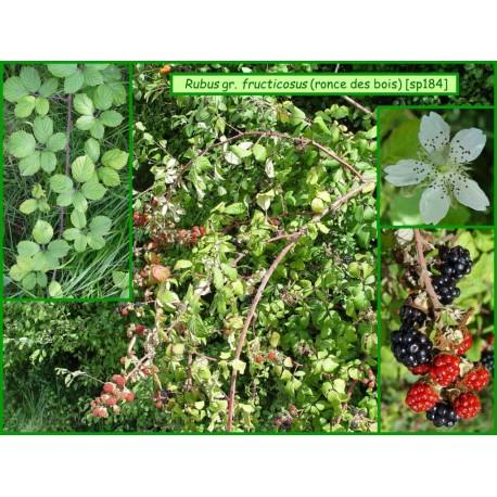 Ronce mûrier - Rubus gr. fructicosus - 184