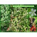 Ronce des bois - Rubus gr. fruticosus - 184