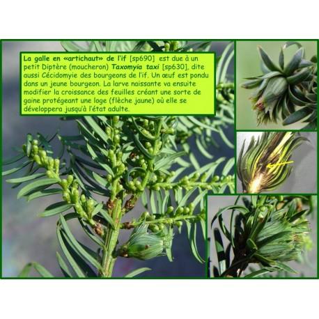 Galle en artichaut de l'if - Taxomyia taxi - 630