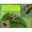 Punaise de l'Aulne glutineux - Elasmucha grisea - 624