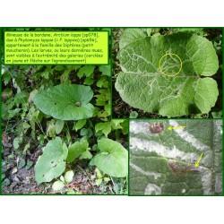 Mineuse de la bardane - Phytomyza lappae - 656