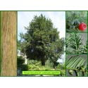 If commun - Taxus baccata - 690