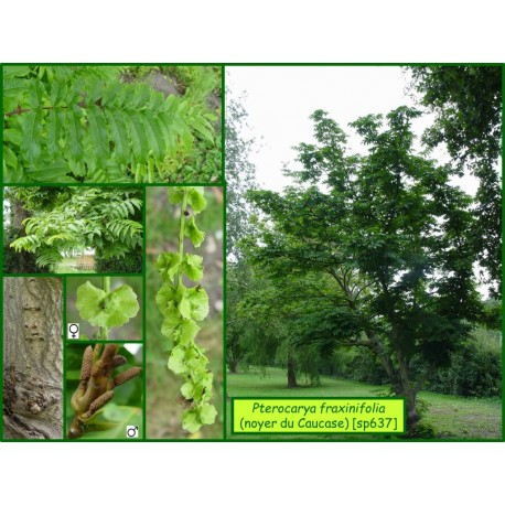 Noyer du Caucase - Pterocarya fraxinifolia - 688
