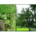 Noyer du Caucase - Pterocarya fraxinifolia - 637
